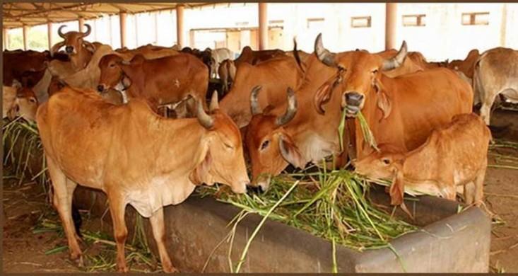 লক্ষ্মীপুরে কোরবানির পশুহাটে হাসিল খাজনার নৈরাজ্য, তালিকা নেই কোথাও
