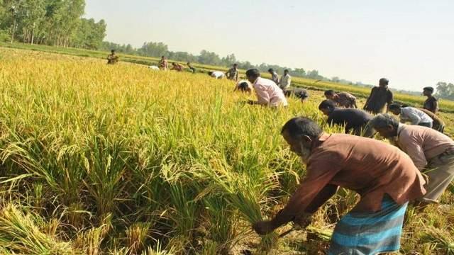প্রাকৃতিক দুর্যোগ আতঙ্ক: লক্ষ্মীপুরে কৃষকরা আধাপাকা ধান কাটছেন