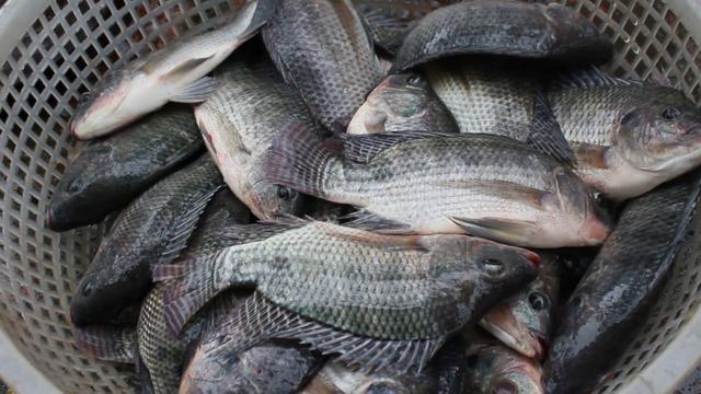 মানুষের রোগে আক্রান্ত হচ্ছে মাছ: উদ্বিগ্ন ভারতীয় বিজ্ঞানীরা