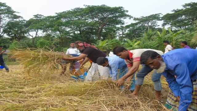 কমলনগরে গরিব কৃষকদের ধান কাটায় সহায়তা করছে তোরাবগঞ্জ ইউনিয়ন কৃষকলীগ